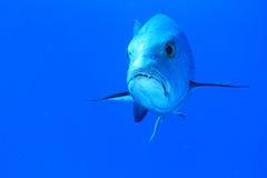 与牙的鱼 免版税图库摄影