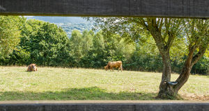 Καφετιές αγελάδες που βόσκουν σε ένα λιβάδι πίσω από μια φραγή Στοκ Εικόνα