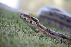 大蟒蛇 免版税图库摄影