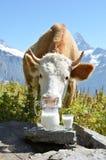 瑞士母牛和牛奶 免版税库存照片