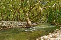 河和美国梧桐结构树 免版税库存照片