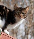 纯掠食性动物-家猫 库存照片