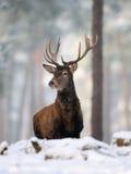 红鹿 免版税库存照片