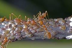 织工蚂蚁和介壳虫 免版税库存图片