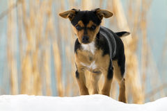 在雪的狗 免版税库存图片