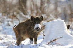 野公猪在冬天 免版税库存图片