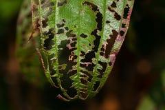 有漏洞的损坏的叶子 免版税库存照片