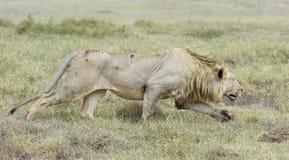 偷偷靠近公的狮子, (豹属利奥)坦桑尼亚 免版税库存图片