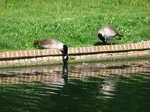 加拿大鹅喝 免版税图库摄影