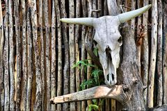 在墙壁上的非洲公牛头骨 库存图片