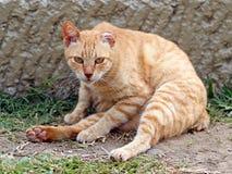 杂散的猫 库存图片