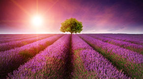 Сногсшибательный заход солнца лета ландшафта поля лаванды с одиночным деревом Стоковые Изображения RF