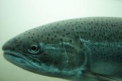 查出的鱼选拔鳟鱼水中 库存图片