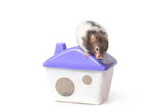 仓鼠坐小屋的屋顶 库存照片