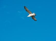 在蓝天的白色海鸥飞行,一只海鸥在蓝色背景,在天空的飞鸟,白色中隔绝了在蓝天的鸟 库存照片
