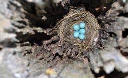 在一只东部蓝鸫的暗藏的巢的蓝色鸡蛋 免版税库存图片