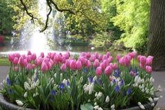 有郁金香的花圃 免版税库存照片