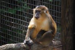 猴子 图库摄影