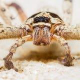 Γιγαντιαία αράχνη σπιτιών Στοκ φωτογραφία με δικαίωμα ελεύθερης χρήσης