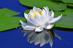 Белая лилия на озере Стоковые Изображения