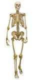 在白色的唯一人的骨骼 免版税库存照片