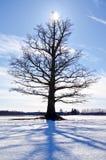 Один дуб на снежном поле зимы Стоковое фото RF