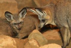 Έχουσες νώτα αλεπούδες ροπάλων Στοκ φωτογραφία με δικαίωμα ελεύθερης χρήσης