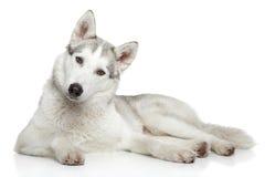 在白色背景的西伯利亚爱斯基摩人狗 免版税图库摄影