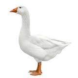 在白色隔绝的家养的鹅 免版税库存图片