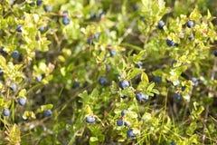 狂放的蓝莓 库存照片
