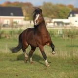 布朗威尔士山与黑发疾驰的小马公马 免版税库存照片