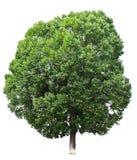 Τέλειο δέντρο στο άσπρο υπόβαθρο. Στοκ φωτογραφία με δικαίωμα ελεύθερης χρήσης