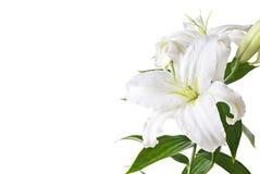изолированная лилия Стоковая Фотография