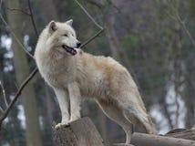 白色北极狼 免版税库存图片