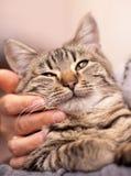 猫的面孔 库存图片