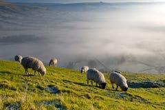 吃草在小山的小组绵羊草 库存图片