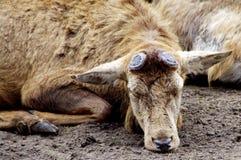 在冬天外套睡觉的雷德迪尔雄鹿 库存照片