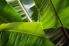 香蕉叶子由后照的太阳的背景 免版税库存照片