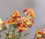 橙色多年生草本植物 免版税图库摄影