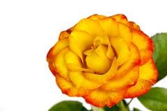 Изолированные желтый цвет и красная роза Стоковое Изображение