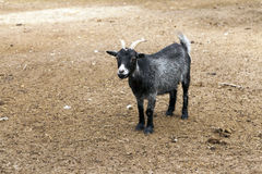 黑滑稽的山羊 库存照片