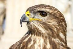 鹰在布达佩斯 图库摄影