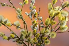 与柔荑花的杨柳分支 库存照片