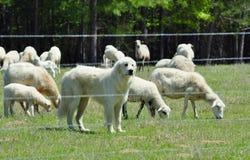 Большие Пиренеи защищая ее стадо Стоковые Изображения