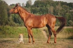 红色博德牧羊犬狗和马 免版税库存图片