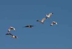 顶上朱鹭的飞行 免版税库存图片