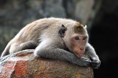 懒惰猴子。 免版税库存照片