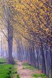 白杨树森林 库存图片