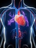 Человеческое сердце Стоковое фото RF