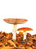 在白色和充分地被种植的蛤蟆菌蘑菇隔绝的年轻人 库存照片